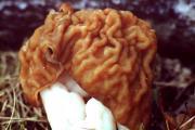 Как приготовить грибы строчки