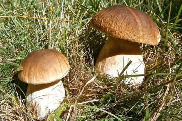 Белый гриб боровик