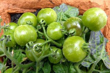 Как приготовить салат из зеленых помидоров на зиму